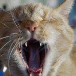 un chat rouquin baille largement, ok c'est pas un lion mais ça fait peur
