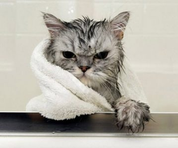 un chat mouillé avec une serviette est tout énervé, c'est un chat d'écrivain qui veut écrire une nouvelle!