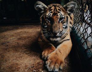 un tigre résigné dans sa cage trop étroite, métaphore d'un personnage frustré par le plan