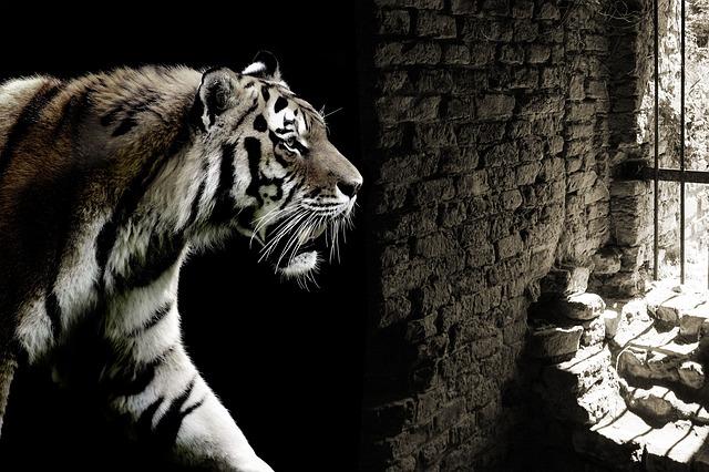un tigre passe devant un mur écroulé et les barreaux d'une cage