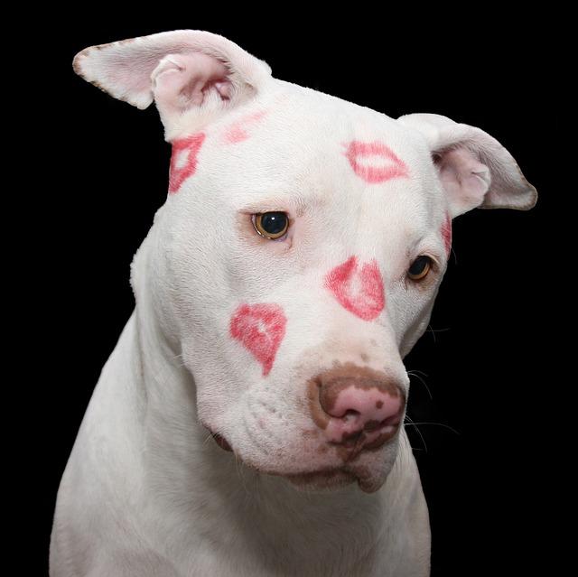 Un pitbull couverts de bisous faits au rouge à lèvres. Rendre un personnage attachant? Ça marche aussi sur les pitbull