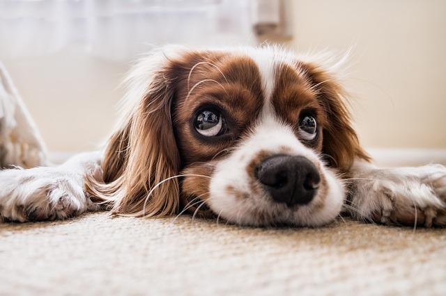un petit chien a l'air tout triste avec ses grands yeux. La technique du chiot abandonné est la manière la plus facile de rendre un personnage attachant